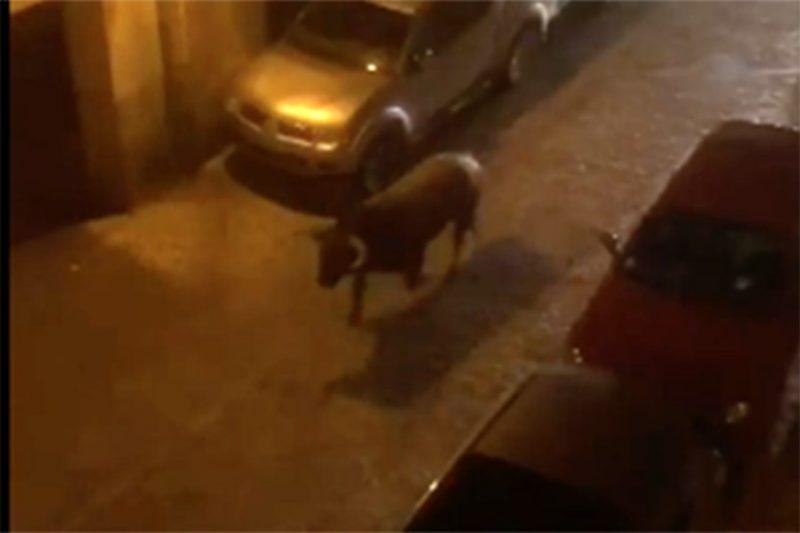 PACMA interpone una querella criminal por el atropello mortal del toro huido en Brihuega