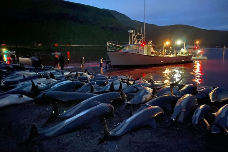 Más de 1400 delfines muertos en una cacería tradicional en Dinamarca / Imagen: La Nacion